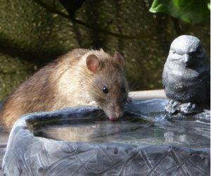 Miami Rodent
