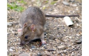 Miami outside-rat