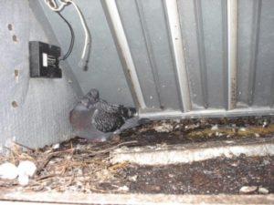 Miami - pigeons