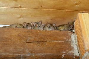 Miami Rats