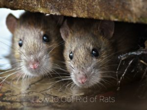 How To Get Rid Of Rats Critter Control Miami