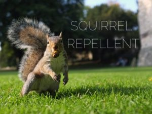 3 Diy Repellants To Keep Squirrels Off Your Lawn Critter