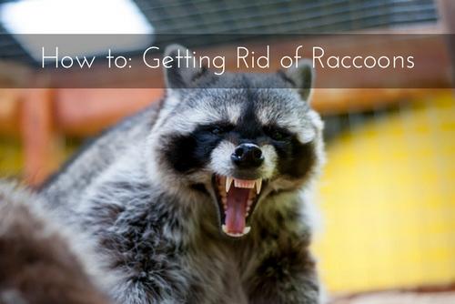 miami raccoon