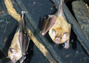 Bat Trapping Critter Control Miami
