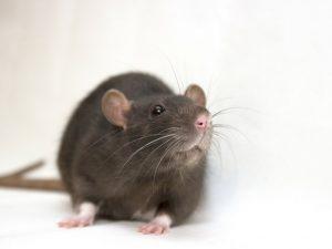 Can a Rat Chew Through Walls? | Critter Control Miami